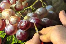 thamb_grapes